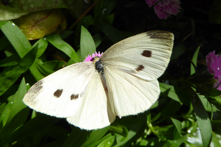 cabbage-butterfly_web